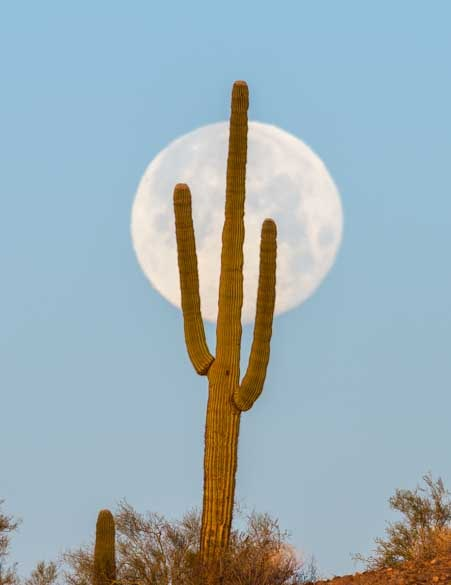Full moon setting behind saguaro cactus Arizona Sonoran Desert-min
