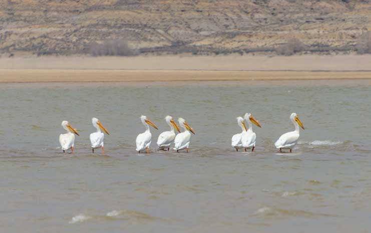 Pelicans at Fontenelle Recreation area Wyoming-min