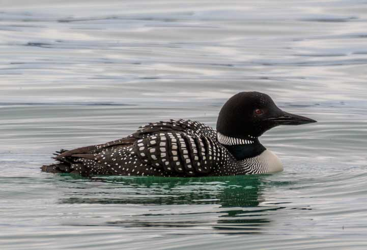Loon Swimming in Bear Lake Utah-min