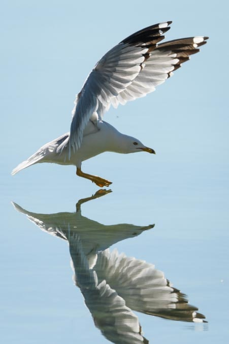Reflection of seagull on water photographed with SunwayFoto GH-01 Gimbal Head-min