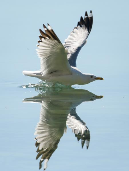 Seagull reflection photography with SunwayFoto GH-01 Gimbal Head-min