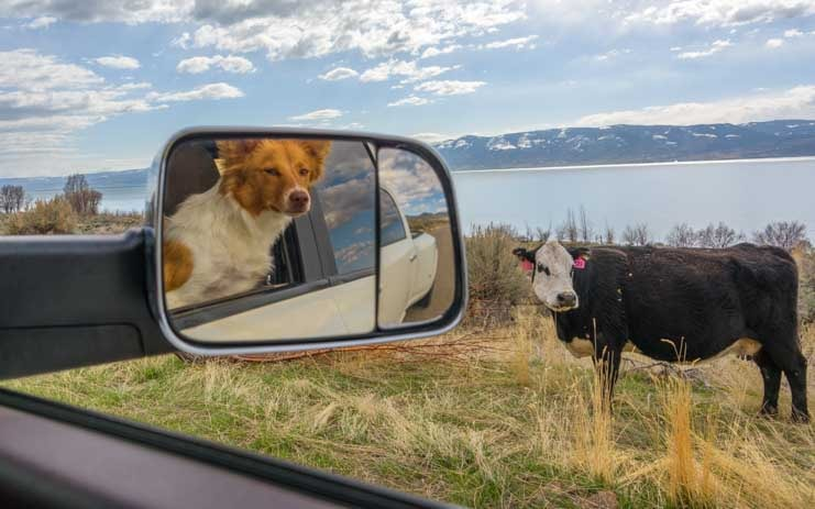 Puppy in truck checks out cow at Bear Lake Utah-min