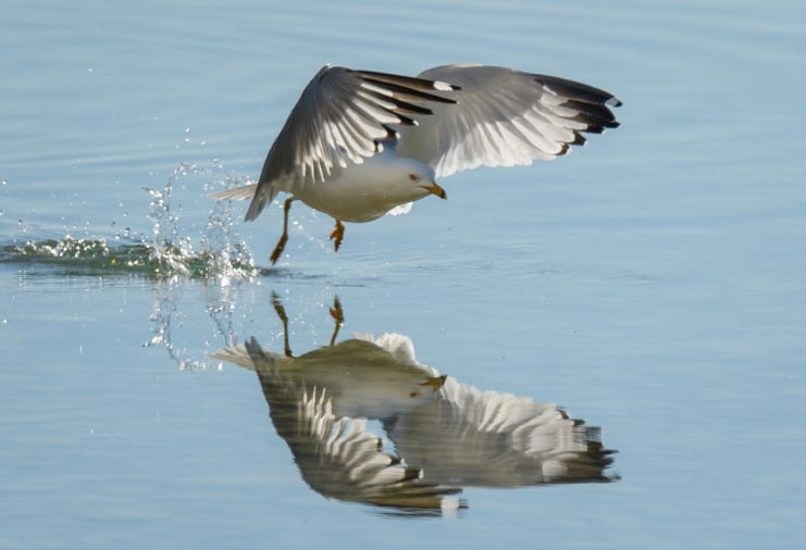 Takeoff from mirror water seagull photography with SunwayFoto GH-01 Gimbal Head-min