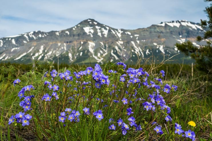 Wildflowers and mountains Glacier National Park Montana RV trip-min