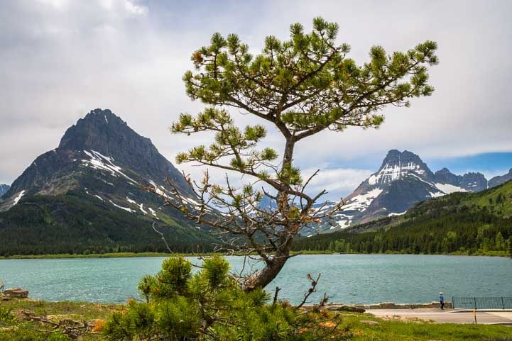 Pine tree at Many Glacier in Glacier National Park Montana-min