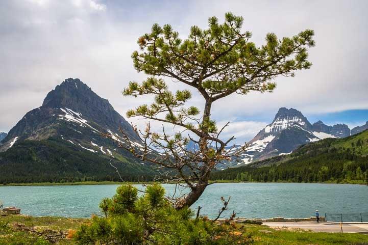 Pine tree at Many Glacier in Glacier National Park Montana-min