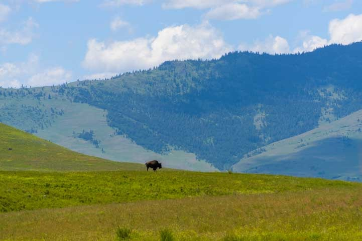 A lone bison National Bison Range Montana RV trip-min