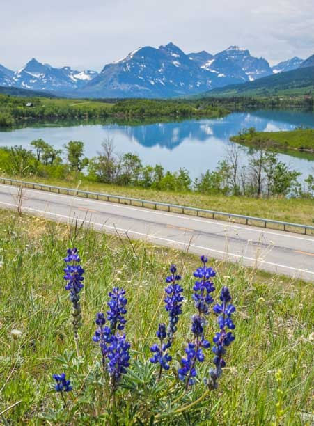 Lupines blooming at St Mary Lake Montana-min