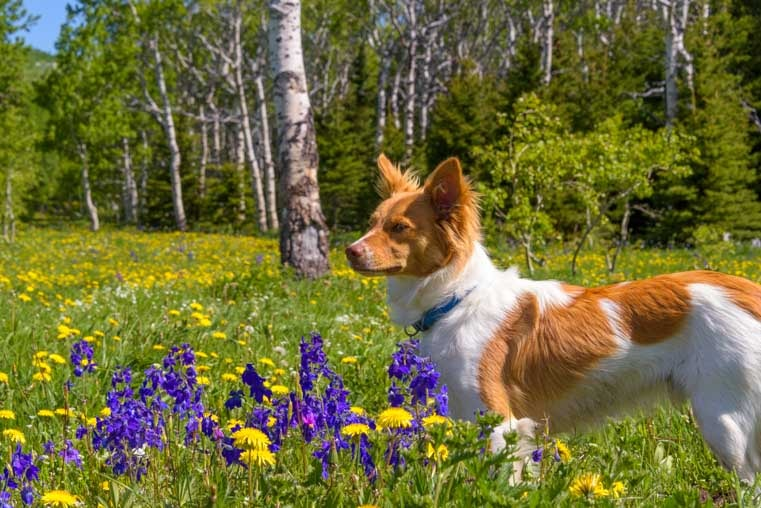 Puppy in wildflowers in Montana-min