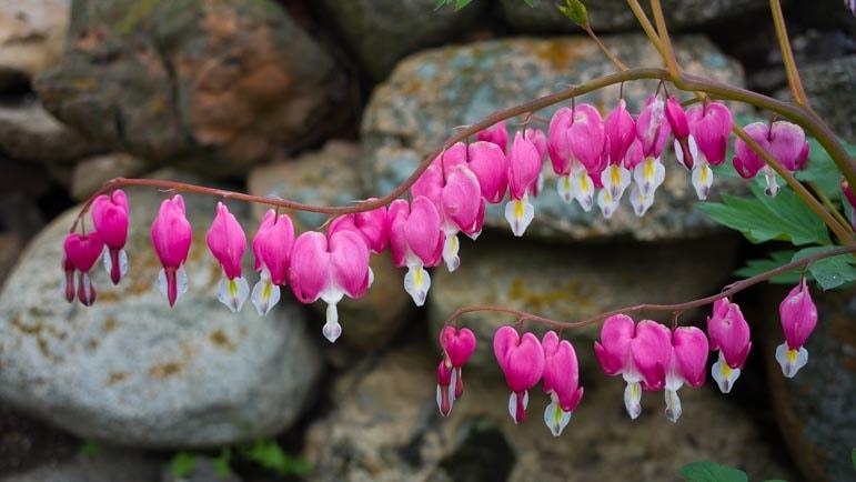 Bleeding heart flowers in Spring in Wyoming-min