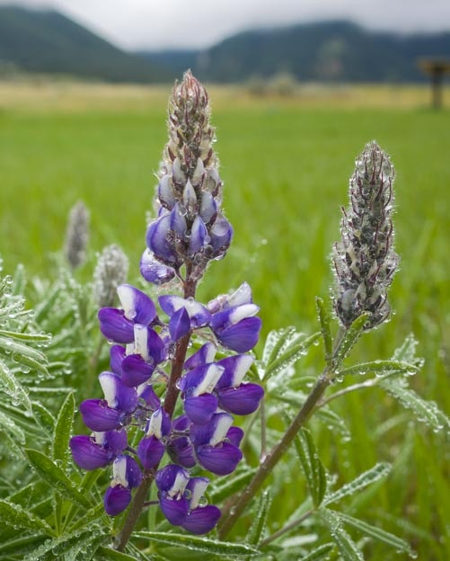 Lupine with rain water droplets on each petal-min