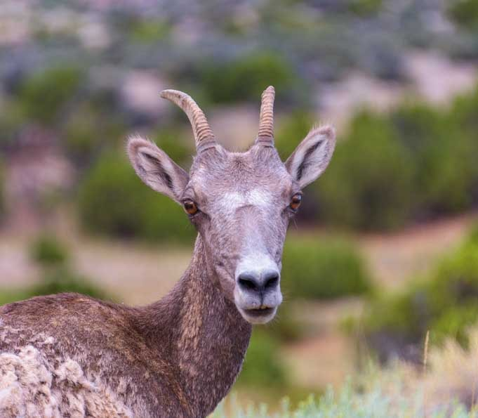 BIghorn sheep ewe Bighorn Canyon National Recreation Area RV trip in Montana and Wyoming