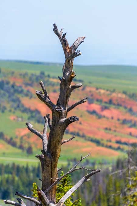 Dead tree and red rocks Chief Joseph Scenic Byway Wyoming RV Trip-min