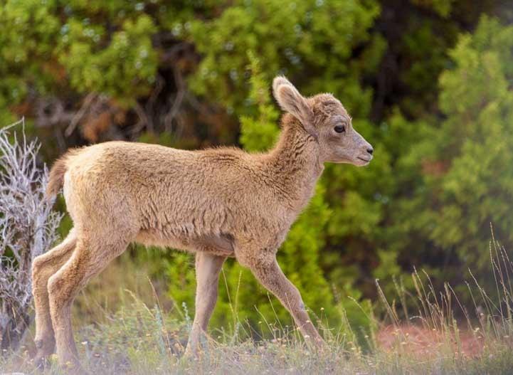 Bighorn sheep lamb Bighorn Canyon National Recreation Area Montana and Wyoming