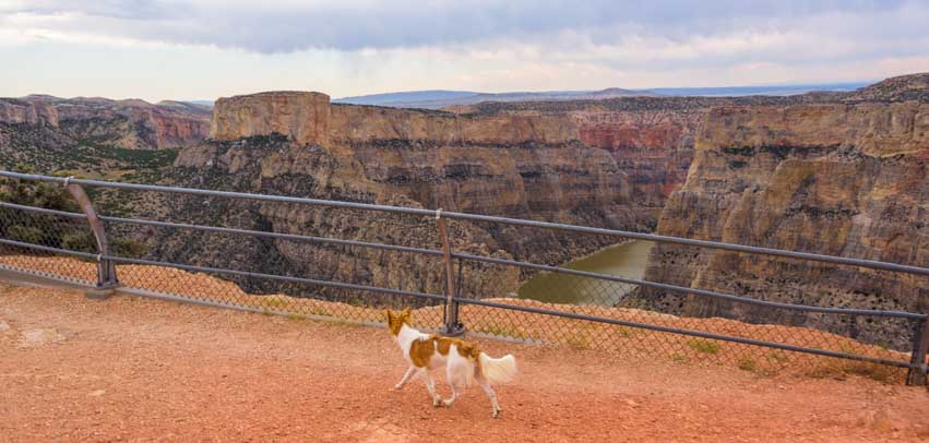 Puppy checks out view Devil's Overlook Horseshoe Bend Overlook Bighorn Canyon National Recreation Area RV trip-min