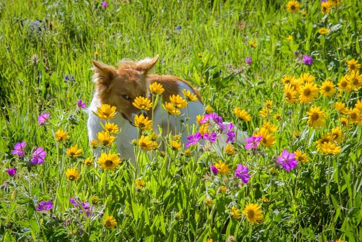 Puppy playing in the wildflowers-min