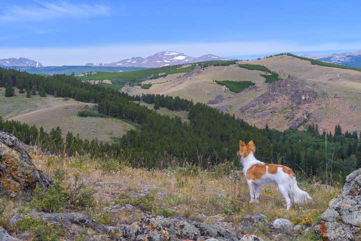 Puppy looks at the Big Horn Mountains in Wyoming-min