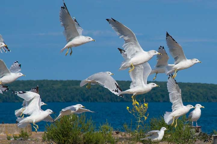 Seagulls flying Bayfield Wisconsin Lake Superior-min