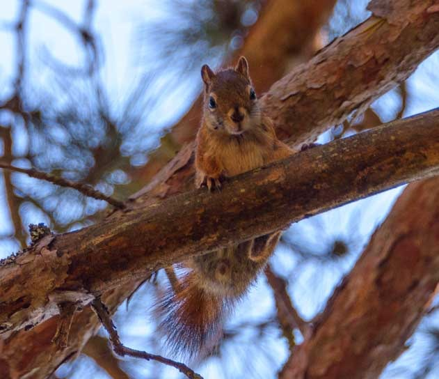 Squirrel in tree Lake Superior WIsconsin-min