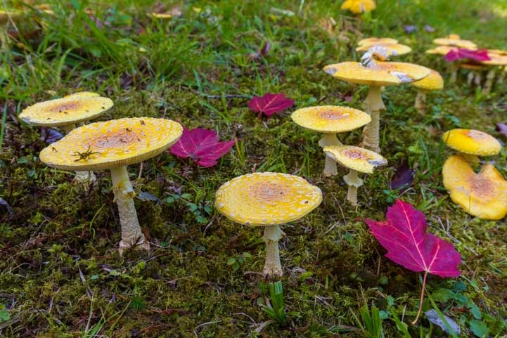 Toadstools and fall leaves Black River Harbor Michigan-min