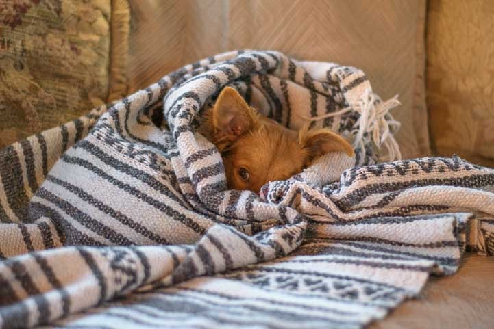 Puppy cuddles up in a blanket-min