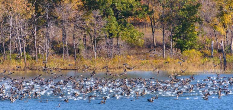 Cormorant Rush Fort Gibson Lake Oklahoma-min