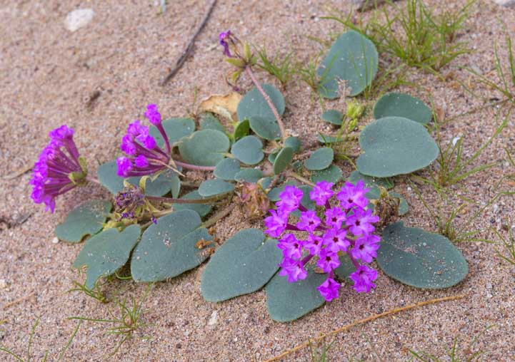 Beautiful wildflowers in Arizona desert sand-min