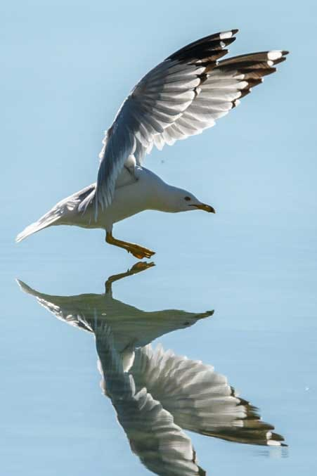 Seagull mirror reflection-min