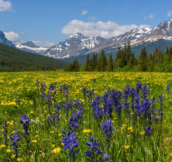 Wildflowers and mountain views in East Glacier National Park Montana-min