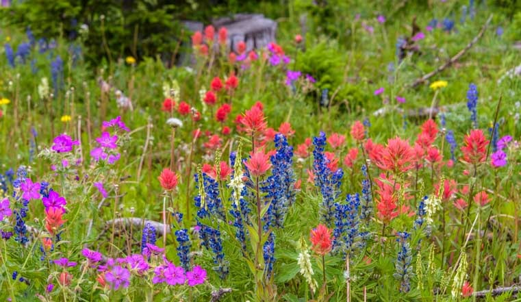 Extraordinary wildflowers Chief Joseph Highway Wyoming-min
