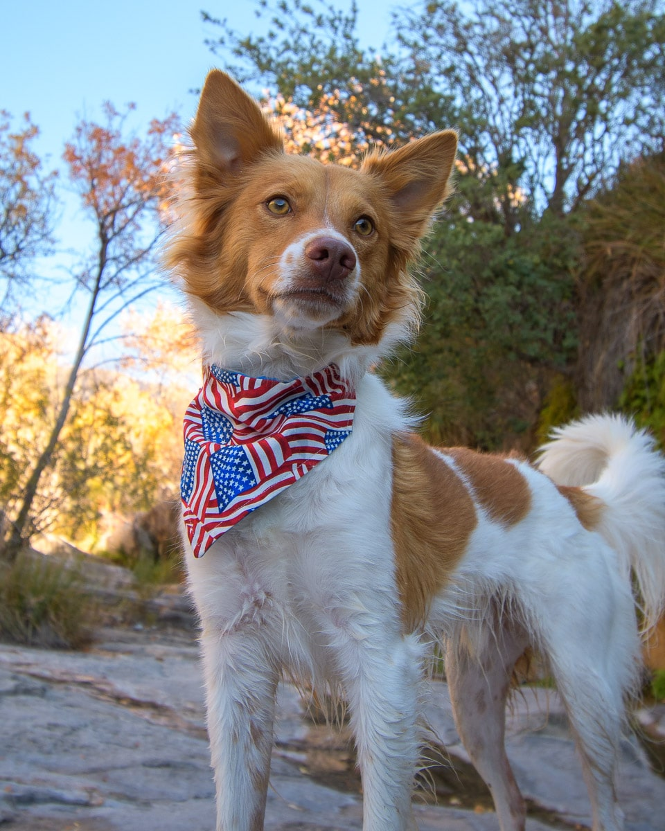 Puppy in American Flag bandana-min