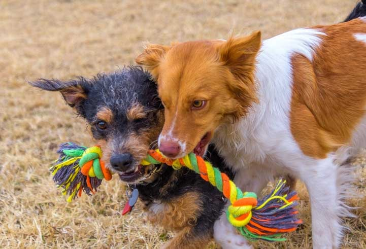 Puppies play with a rope toy-min