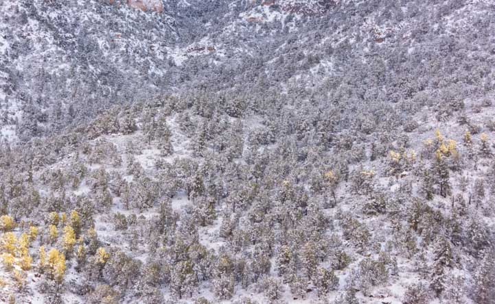 Snow in the trees in Arizona-min