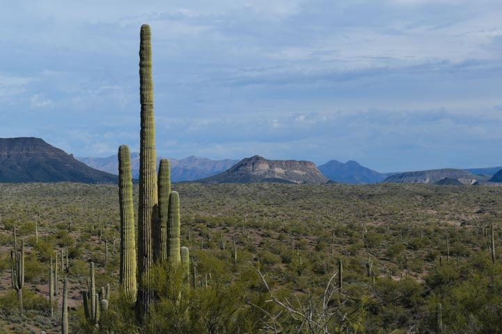Saguaro cactus in the Sonoran Desert of Arizona-min