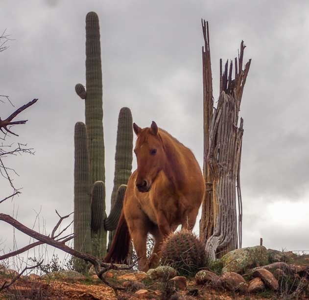 Wild horse with cactus in the Arizona desert-min