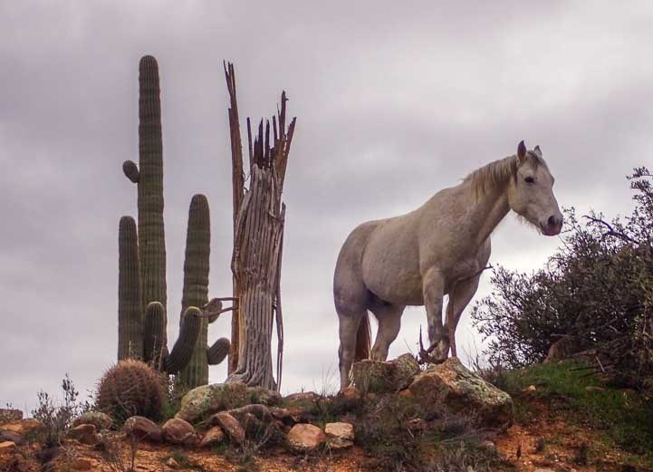 Wild horse and cactus in Arizona national forest-min