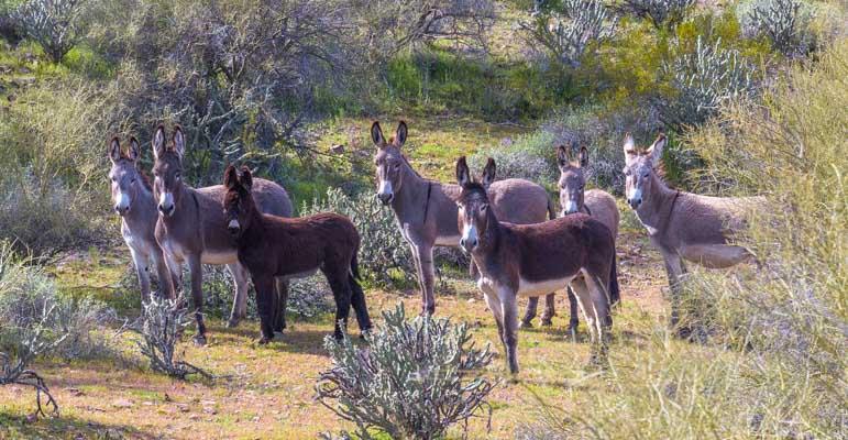 Wild burros Lake Pleasant Arizona-min