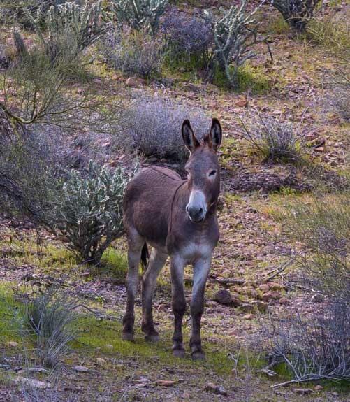 Wild burro Lake Pleasant Arizona-min