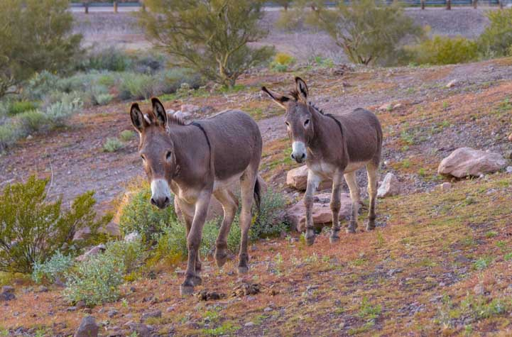 Wild burros Lake Pleasant Regional Park Arizona-min