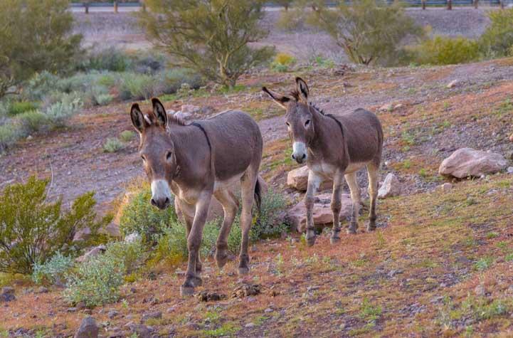 Wild burros Lake Pleasant Regional Park Arizona-min
