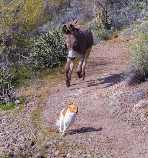 Wild burro chases dog-min