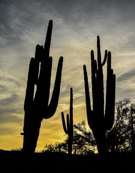 Saguaro cactus at sunset-min