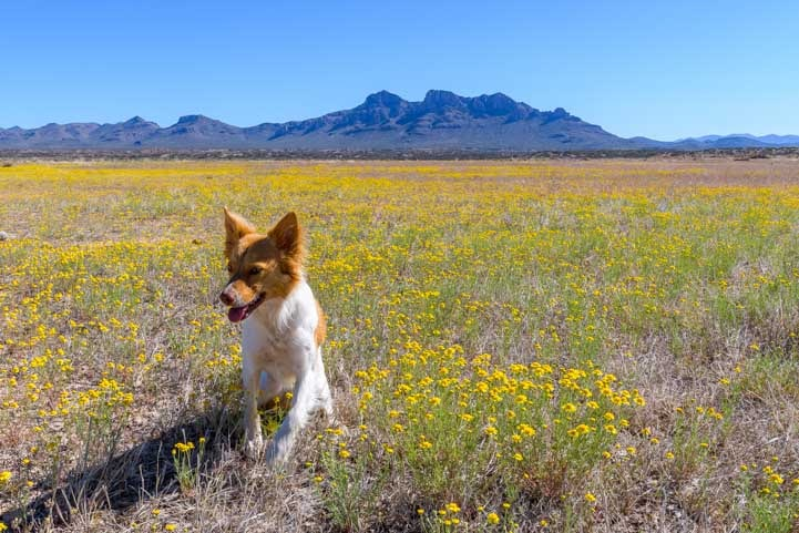 Wildflowers and puppy with mountains in Arizona-min