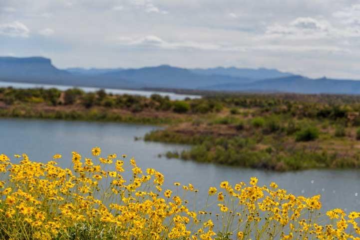 Yellow wildflowers at Roosevelt Lake Arizona-min