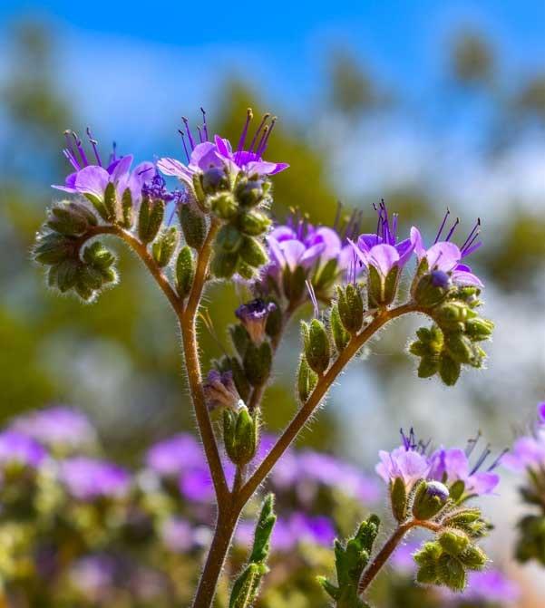 Lavender wildflowers Arizona-min