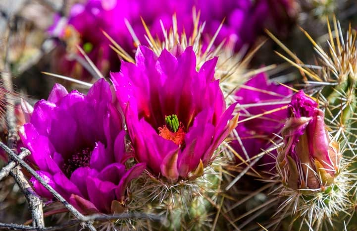 Cactus flowers in Arizona Spring-min