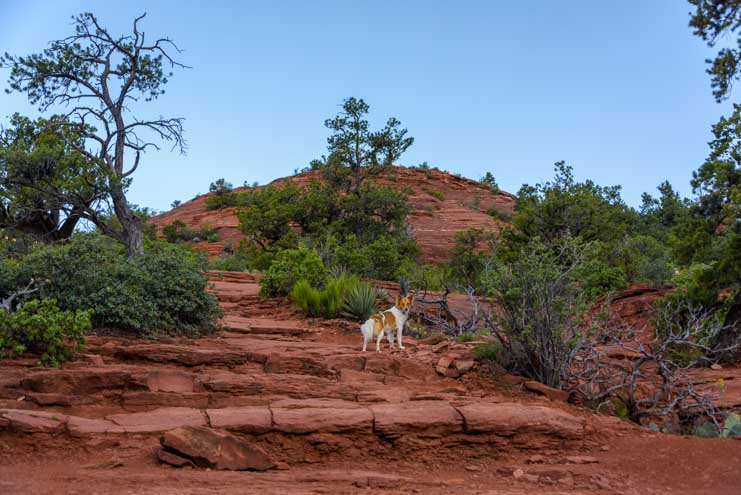 Puppy hikes the Brins Mesa Trail hike in Sedona Arizona-min