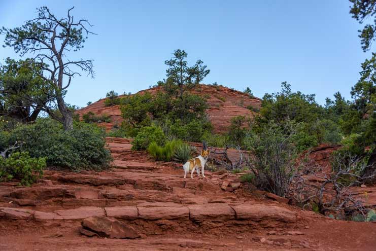 Puppy hikes the Brins Mesa Trail hike in Sedona Arizona-min
