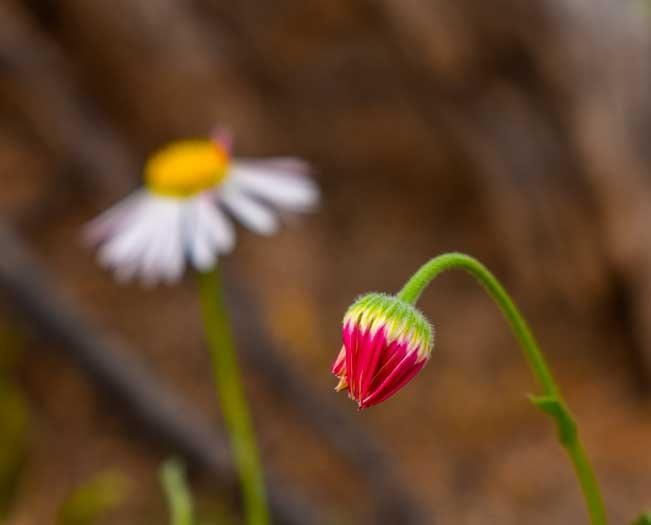 Bud and flower in Arizona-min