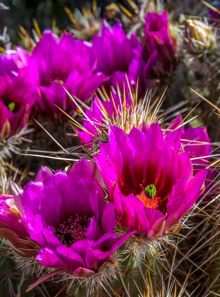 Cactus flowers in Spring in Arizona-min